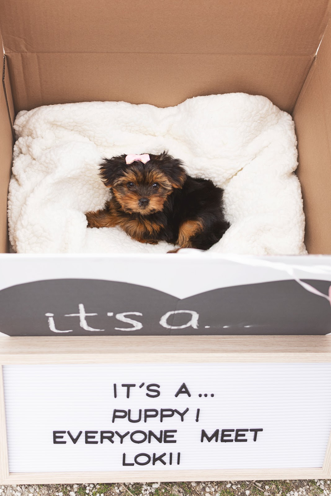 The Sweetest Puppy Announcement You Will Ever See!  It's a... dog puppy yorkie yorkshire terrier teacup yorkie tiny micro girl puppy reveal unique cute family Lokii