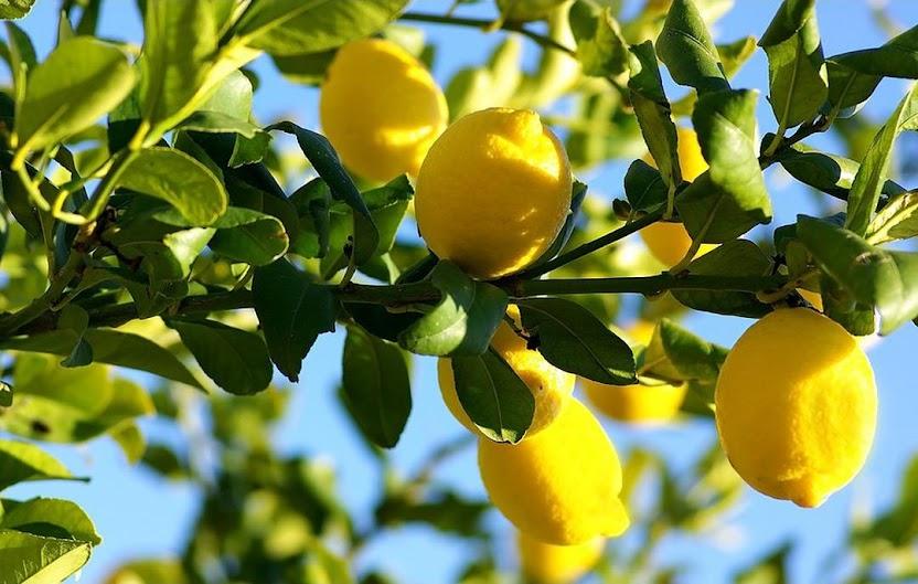 Amefurashi Bibit Benih Seed Buah Jeruk Lemon Import Singkawang