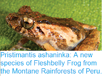 http://sciencythoughts.blogspot.co.uk/2017/01/pristimantis-ashaninka-new-species-of.html