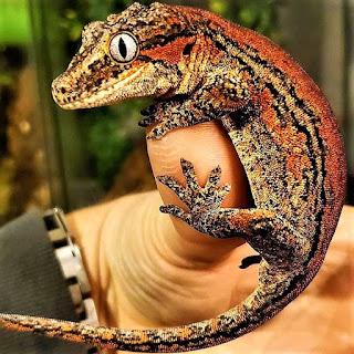 gecko gargola cuidados