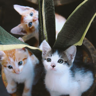 Gambar Anak Kucing Yang Comel Dan Riang Membikin Si Tambi Cemburu