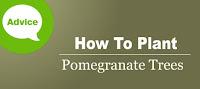 http://www.wilsonbrosgardens.com/how-to-plant-a-pomegranate-tree.html