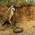 Uma batalha por sobrevivência entre cobra e águia; vídeo: