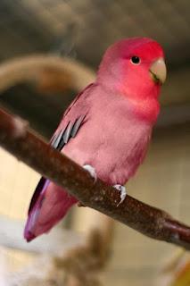 solusi tepat mengatasi lovebird yang hanya ngetik tidak mau ngekek