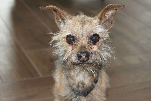 Old Chihuahua