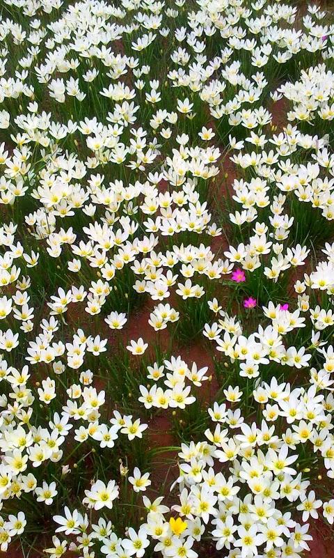 Vườn Hoa Trắng Tinh