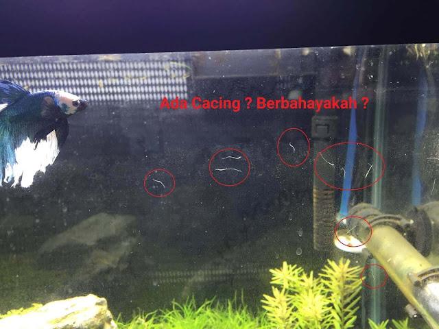Air Di Aquarium Banyak Cacing Putih ? Simak Penjelasannya