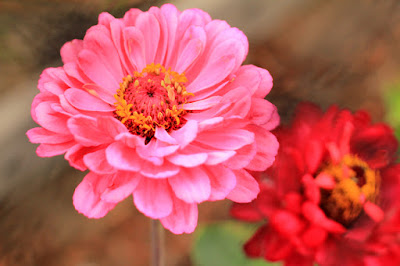 Pink Zinnias Close Up Flower Photography by Mademoiselle Mermaid