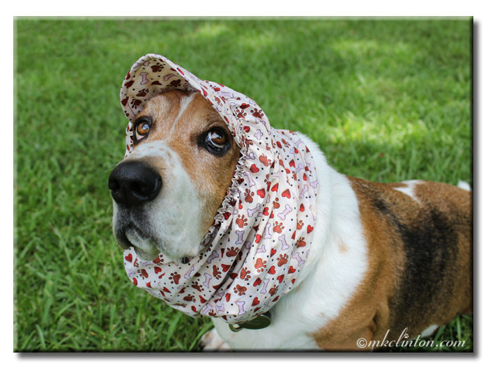 Basset hound wearing a snood