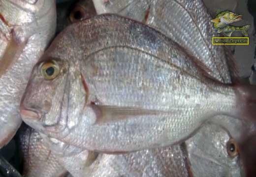 سمك مرجان