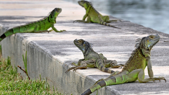 Las autoridades de Florida dan luz verde a los ciudadanos para matar iguanas verdes