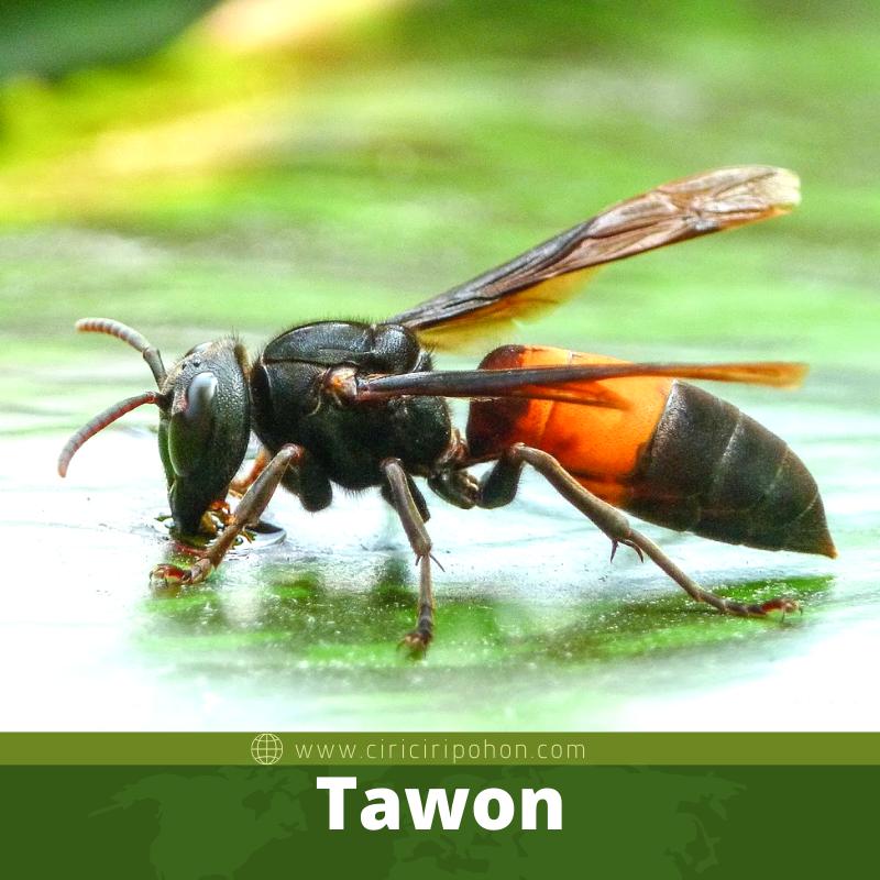 Tawon