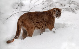 Desktop HD Wallpaper Forest Predator Cougar