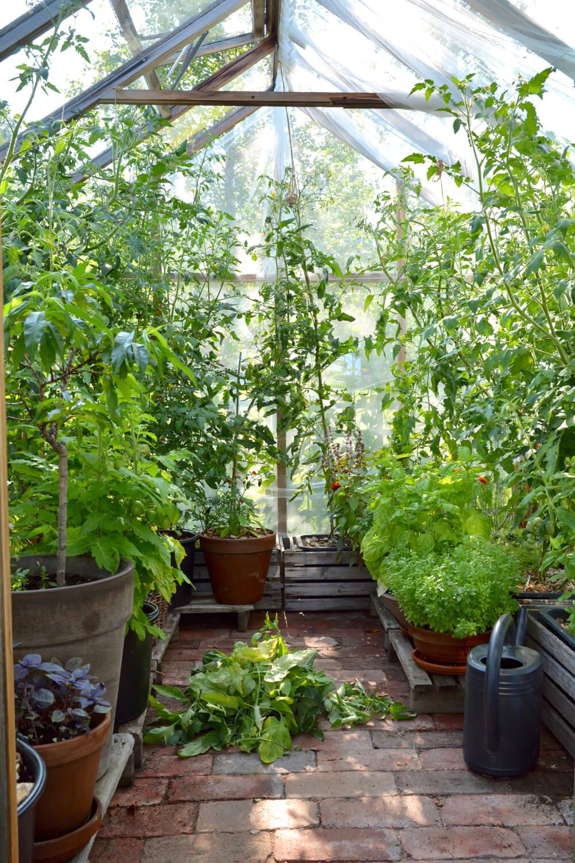 tomaatin-lehtien-karsiminen