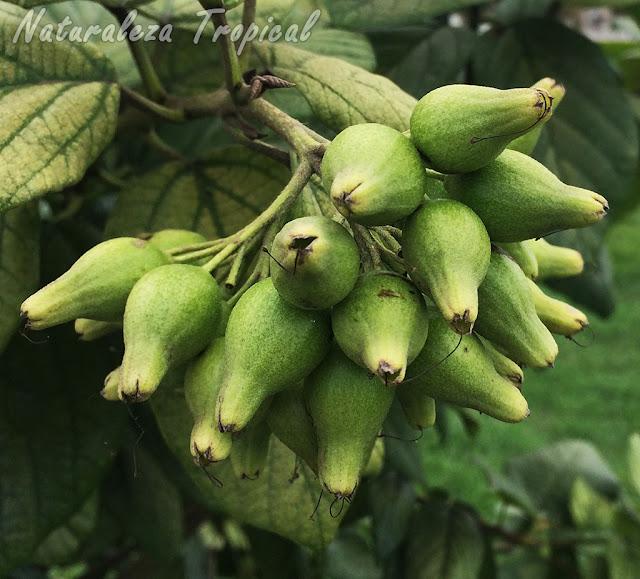 Frutos inmaduros del Árbol o Arbusto Nomeolvides, Cordia sebestena