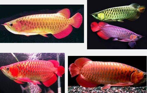 Jenis-Jenis Ikan Hias