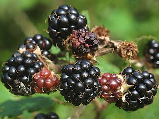bramble fruit images