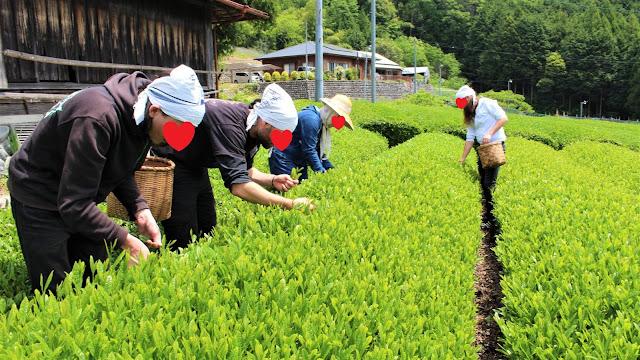 Récolte du thé - Sasama