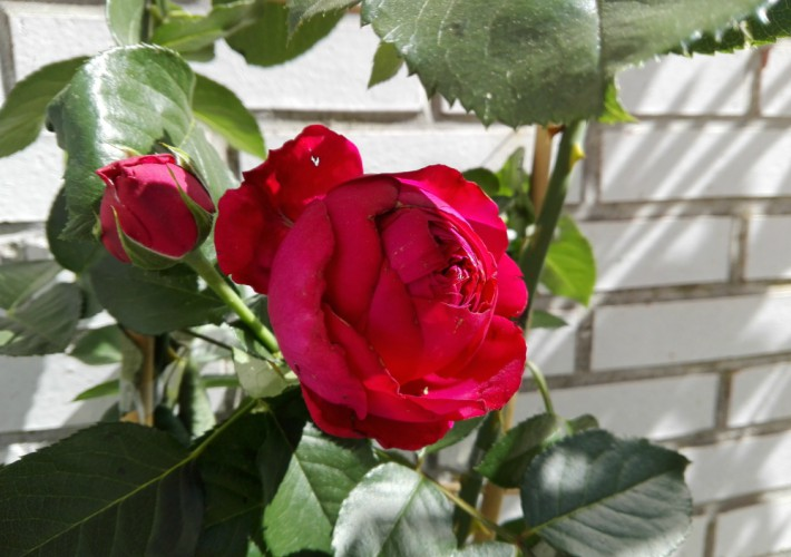Todo lo que debes saber sobre los rosales