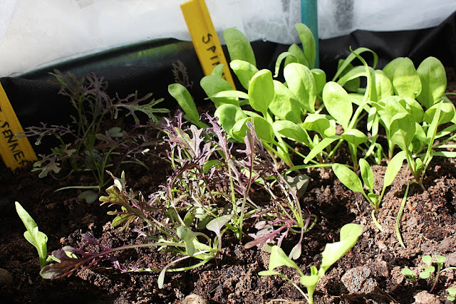 Spinach and wild arugula thrive in a container