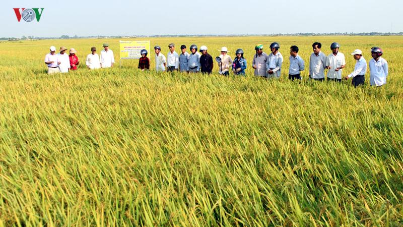 Lúa hữu cơ tạo động lực làm giàu cho người dân Quảng Trị