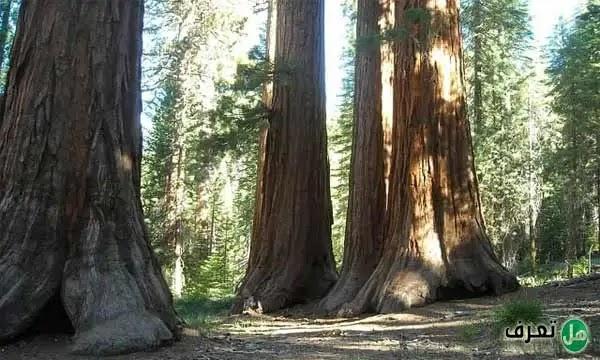 ماهي اكبر شجرة في العالم