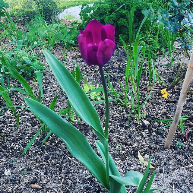 Hình ảnh hoa Tulip Tím & Ý nghĩa của hoa Tulip màu tím là gì?