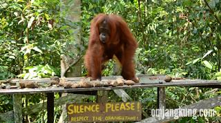 orangutan di kalimantan tengah