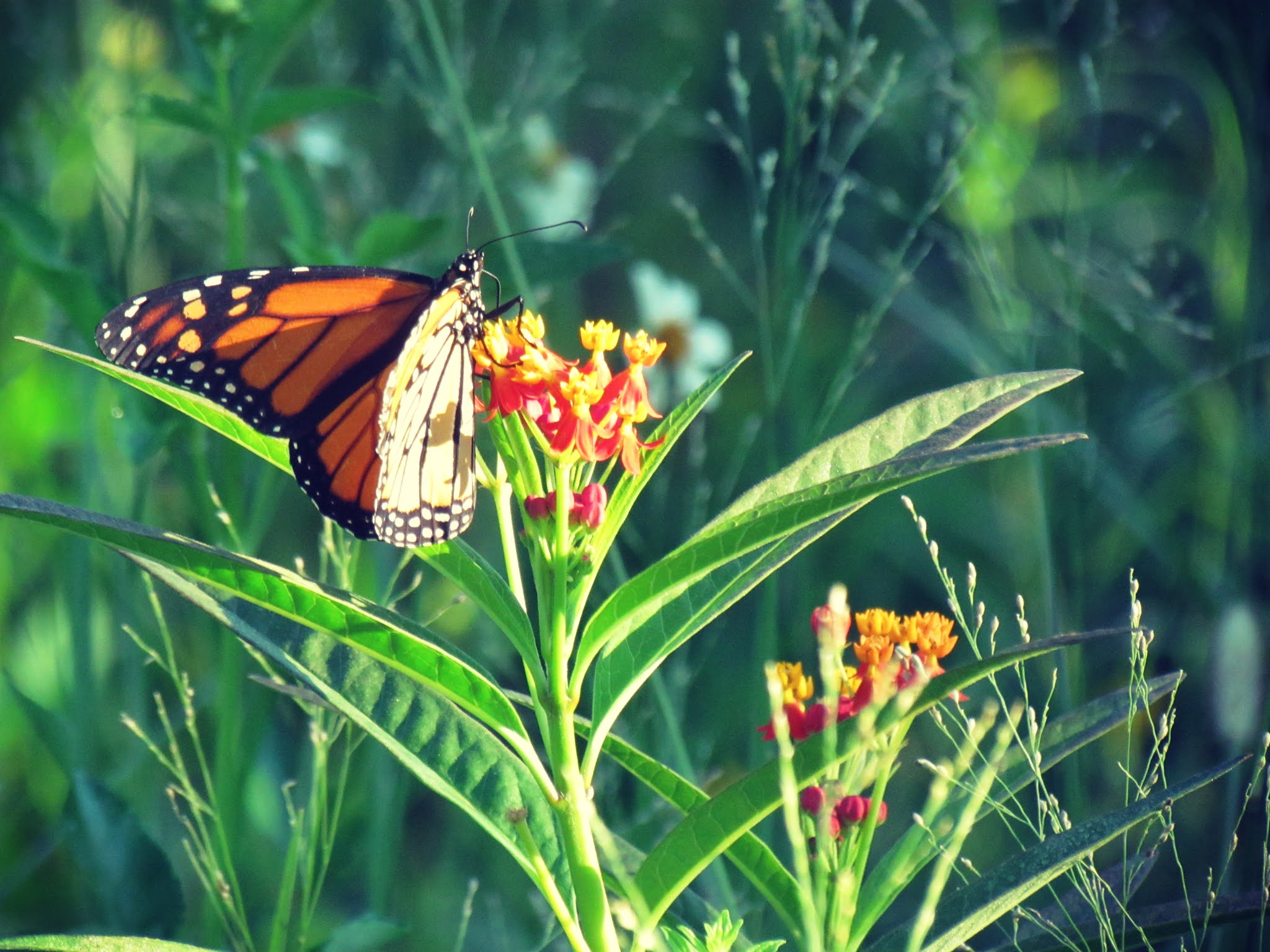 a monarch butterfly pollinating a colorful botanical in a wildlife preserve in a Florida summer meadow