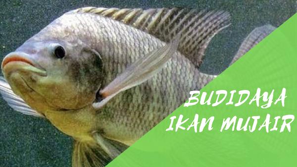 Panduan Singkat Dalam Budidaya Ikan Mujair