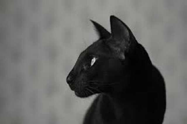 gatto siamese nero