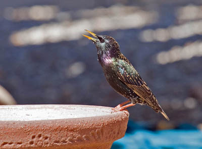Photo of a breeding plumage European Starling drinking from bird bath