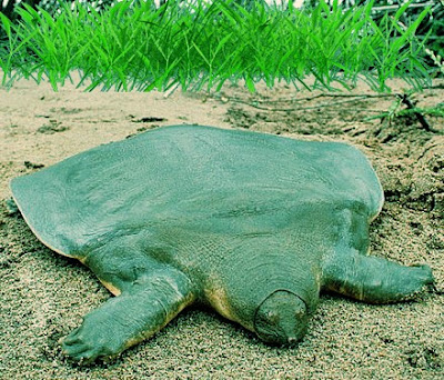A flat day turtle is found in the Amazon