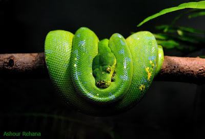 gambar ular viper hijau, video ular hijau, video ular hijau ekor merah, ular hijau wikipedia, wallpaper ular hijau, ular hijau wiki, ular warna hijau, ular warna hijau hitam, ular warna hijau ekor merah, ular warna hijau berbisa, ular warna hijau merah, ular hijau yang berbisa, ular hijau yang tidak berbisa, ular hijau yg berbisa, ular hijau yang mematikan