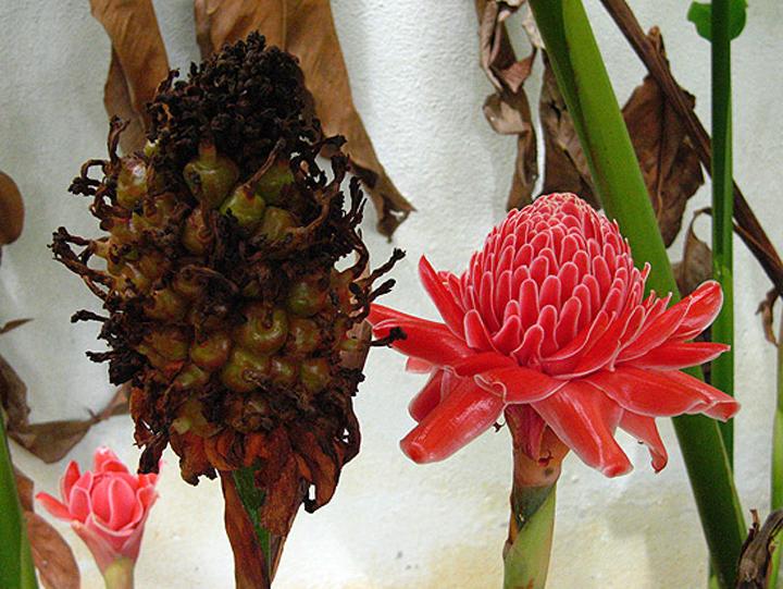 Khasiat Kegunaan Buah dan Bunga Kantan