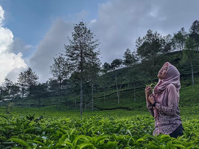 kebun teh wisata kaligua