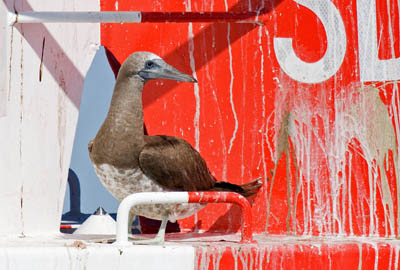 Photo of a Brown Booby on a poop-covered buoy