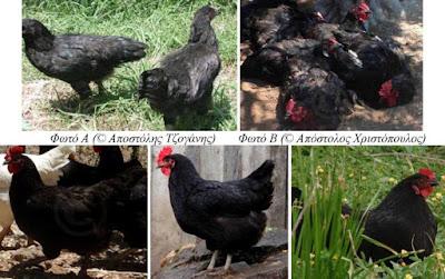 Ντόπιες μαύρες κότες