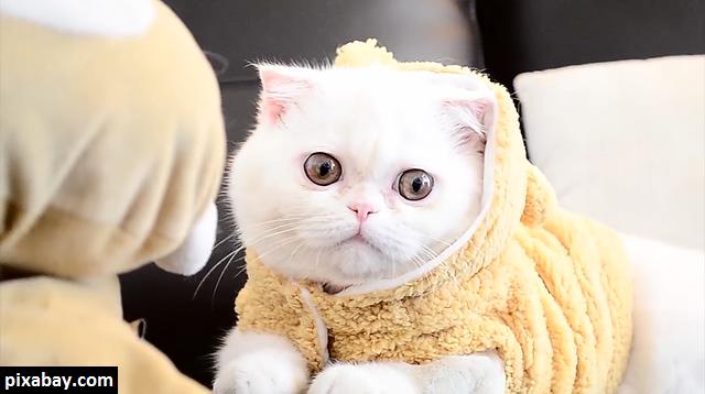 Jenis-jenis Kucing Ras
