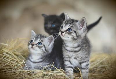 Cara memberikan makanan kucing