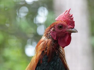 pollo de corral