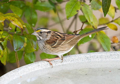 Photo of a White-throated Sparrow in a bird bath