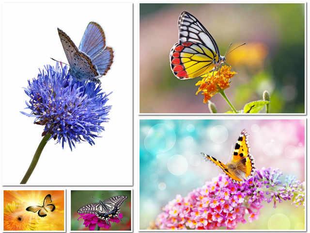 5 صور بدقة عالية لفراشة على وردة