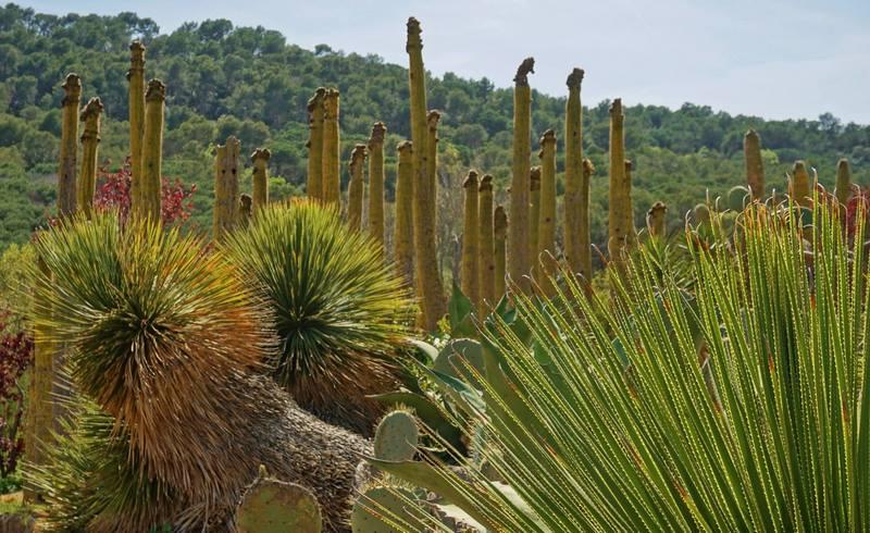 Dasylirion y cactus en jardín de suculentas junto al mar mediterráneo