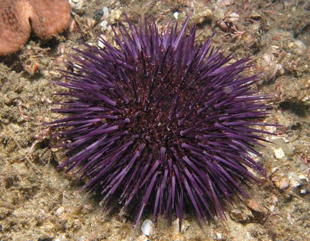 Sea Urchin | Animal Wildlife