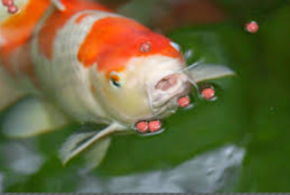Makanan Ikan Koi Selain Pelet