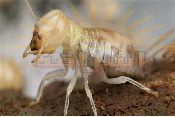 ابادة النمل الابيض