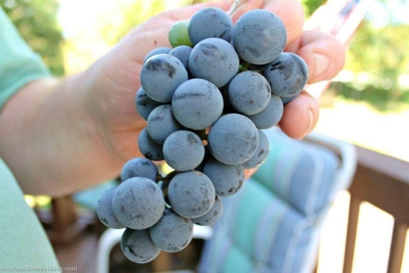 Grape Picking | On The Creek Blog // www.onthecreekblog.com