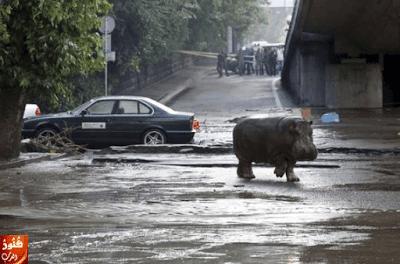 حيوانات مفترسة تجوب شوارع جورجيا نتيجة فيضان ضرب البلاد...بالصور 2015