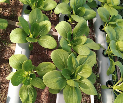 Hidroponik sayur pokcoy urban farming